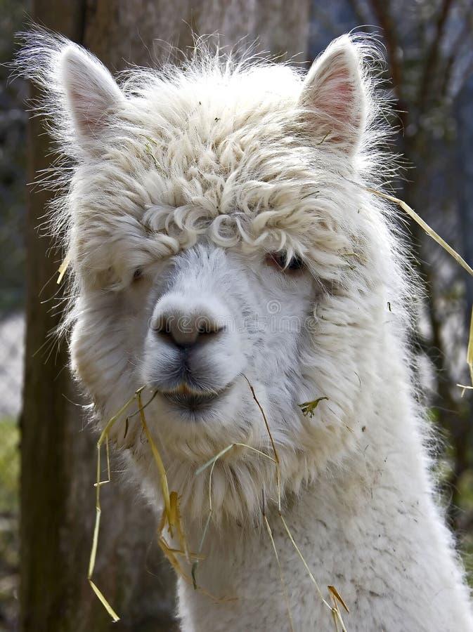Download Alpaca 3 stock image. Image of zoology, portrait, nature - 13699653