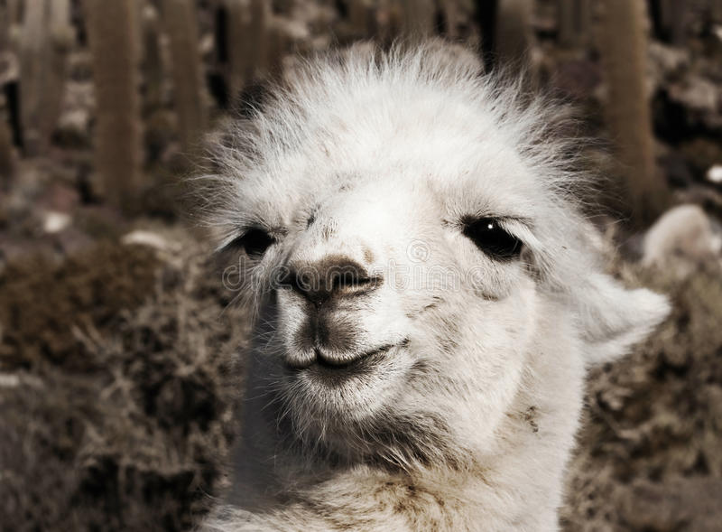 Alpaca royaltyfria bilder