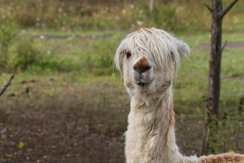 Alpaca. In the meadow, farm animal stock photography