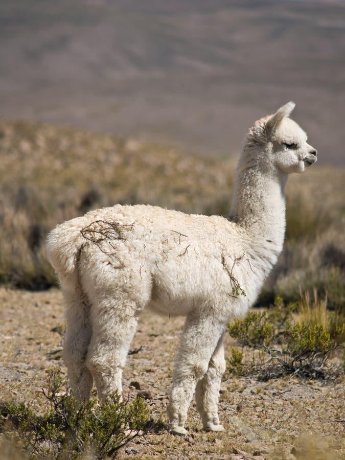 Download Alpaca stock image. Image of serene, escape, andes, llama - 3800801