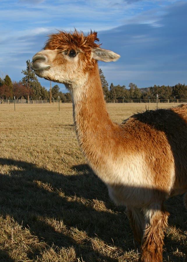 Free Alpaca Stock Photos - 3910693