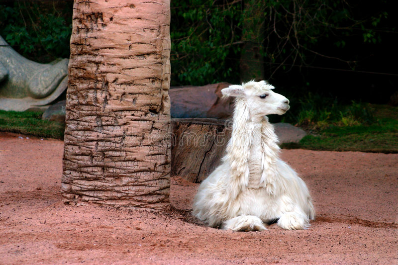 Alpaca. The alpaca is a type of llama that lives in the Andes Mountains of South America. The alpaca is part of the camelidae family and is closely related to stock image