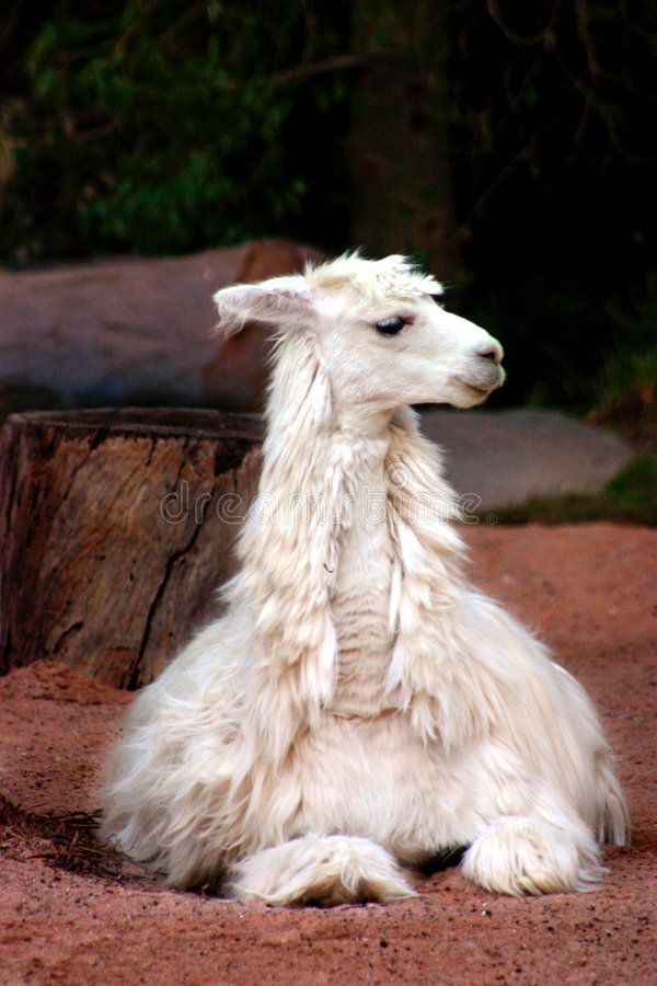 Alpaca. The alpaca is a type of llama that lives in the Andes Mountains of South America. The alpaca is part of the camelidae family and is closely related to royalty free stock photography
