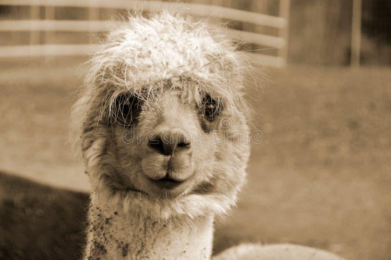 alpaca royalty-vrije stock foto