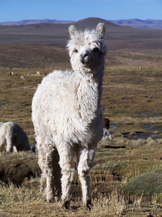 Alpaca. White alpaca stock images