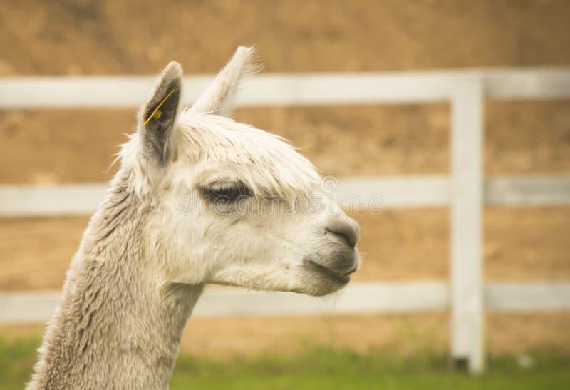 alpaca foto de stock royalty free
