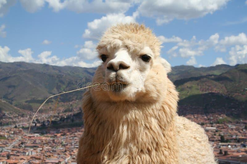 alpaca arkivbild