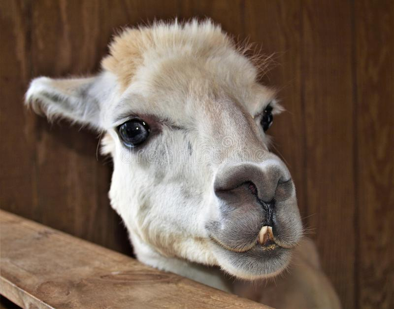 Alpaca amigável ( Vicugna Pacos) foto de stock