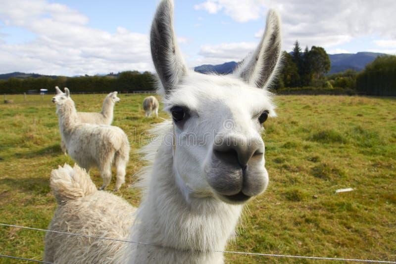 Alpaca bij het landbouwbedrijf royalty-vrije stock fotografie