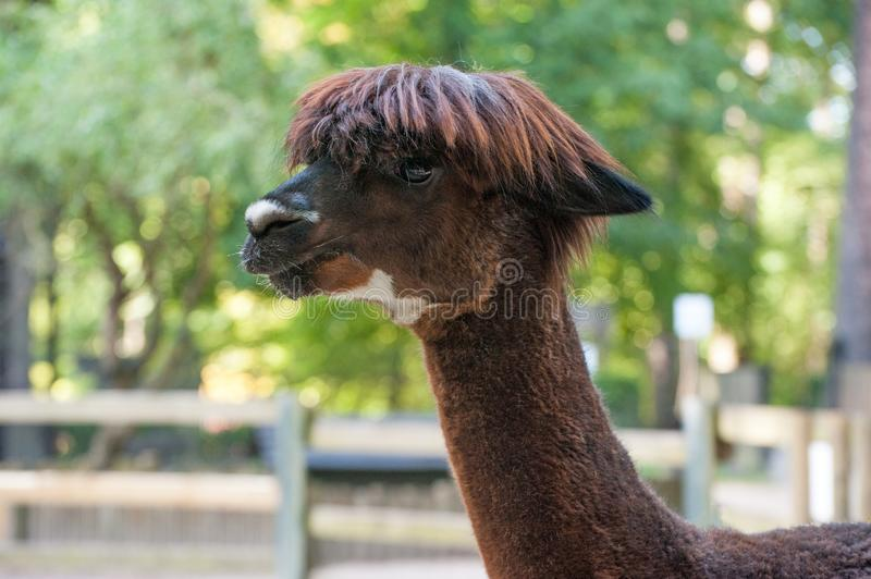 Alpaca Brown portrait. Cute animal. With stylish hairstyle royalty free stock images