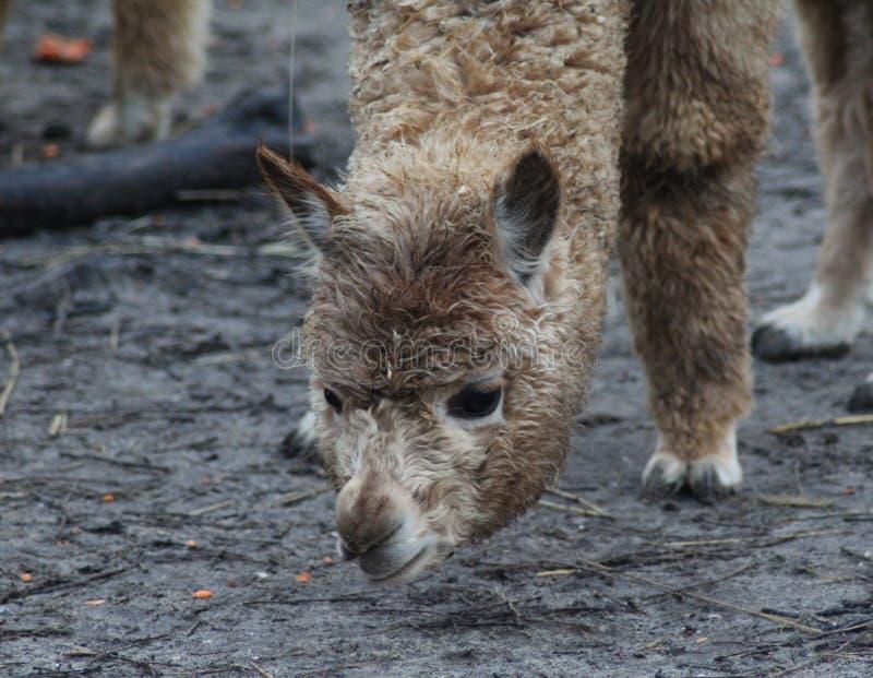 Alpaca bruin hoofd stock afbeelding