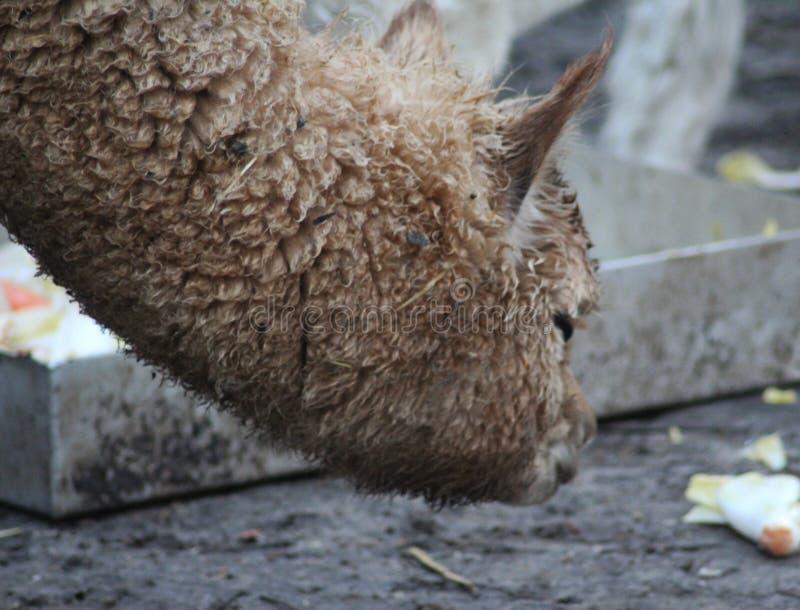 Alpaca bruin hoofd stock foto's
