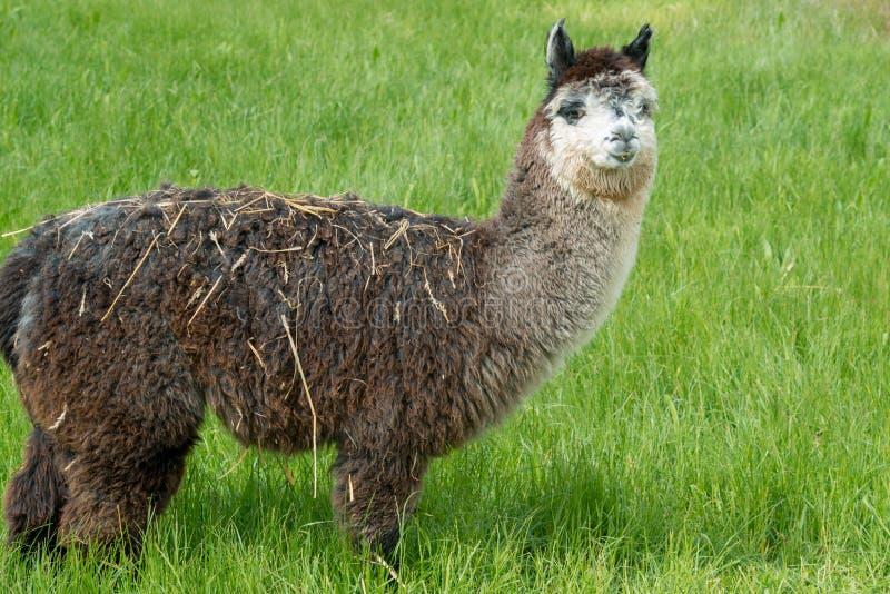 Alpaca brun lama på lantgården fotografering för bildbyråer