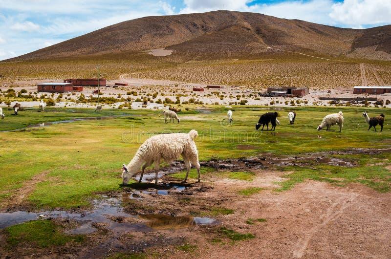 Alpaca che pasce nell'erba fotografie stock libere da diritti