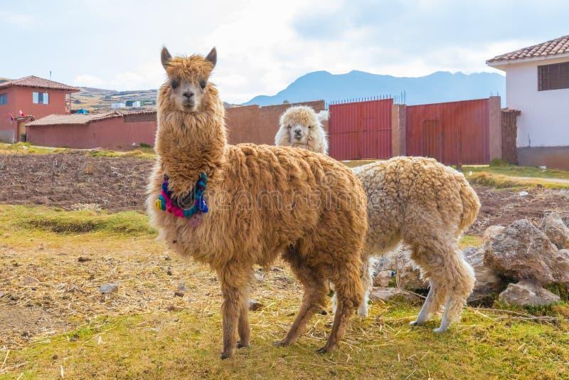 Alpaca Chinchero Peru arkivbild