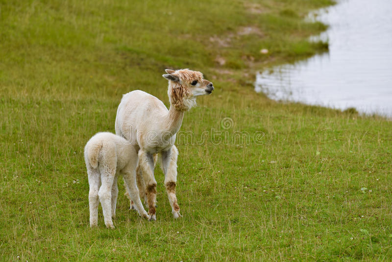 Alpaca with cub. Adult alpaca feeding its cub in a pasture stock photography