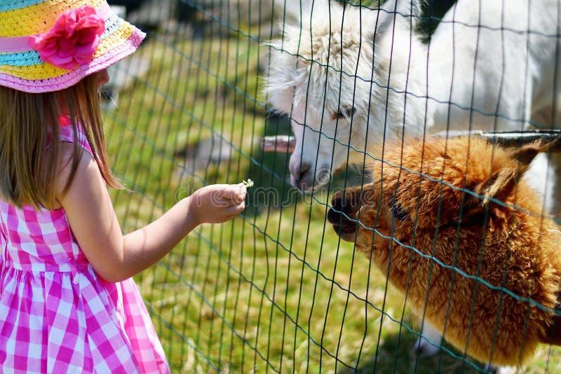 Alpaca de alimentación de la niña adorable en el parque zoológico en día de verano soleado imagen de archivo