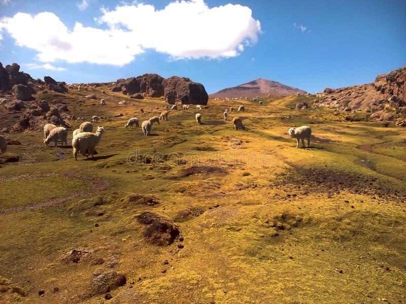 Alpaca in de Andes van Peru stock foto's
