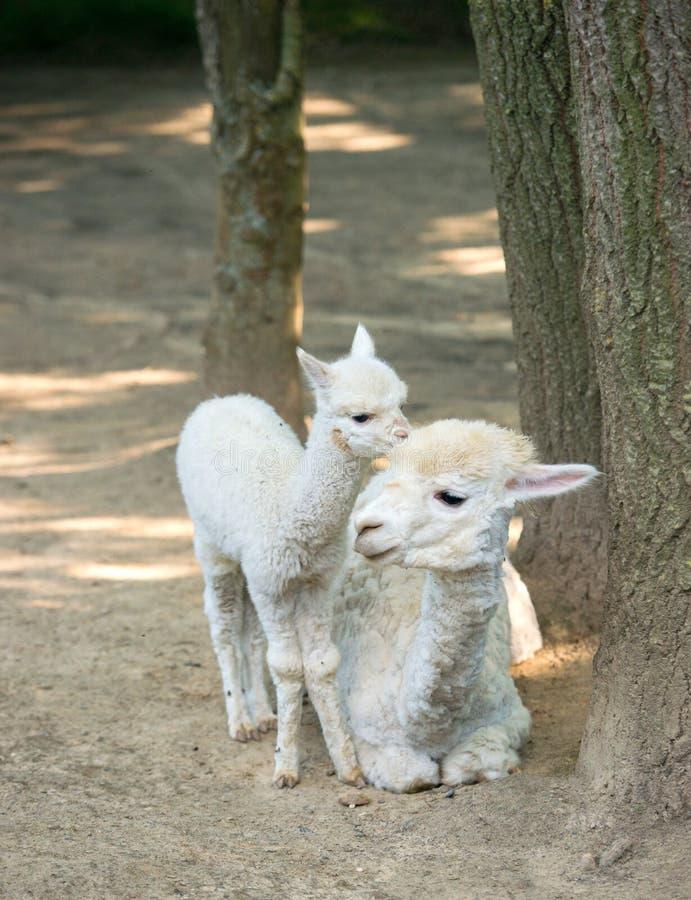 Alpaca de Cria del bebé con su madre que se coloca por otra parte imagen de archivo