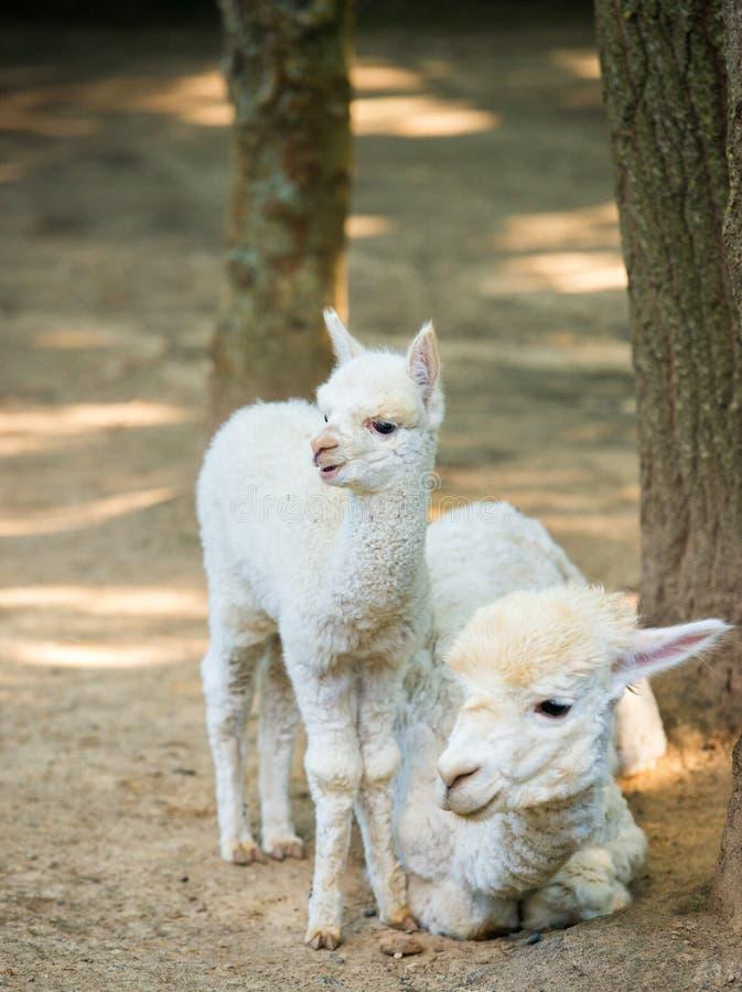 Alpaca de Cria do beb? com sua m?e que est? ao lado fotografia de stock royalty free