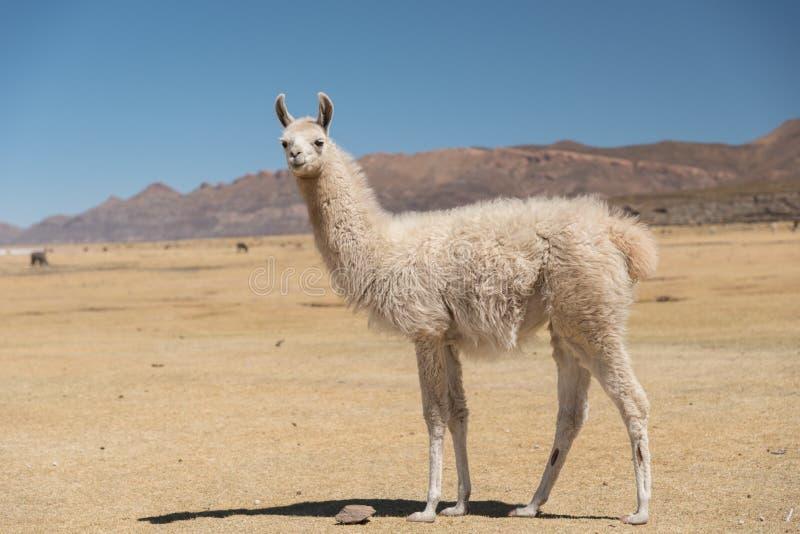 Alpaca de la llama en Altiplano, Bolivia, Suramérica imagen de archivo