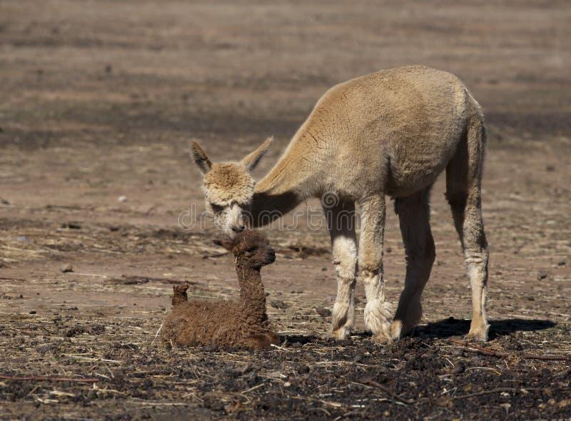 Alpaca del bebé foto de archivo libre de regalías