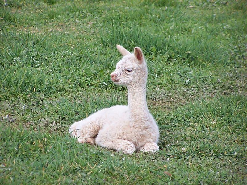 Alpaca del bebé fotografía de archivo