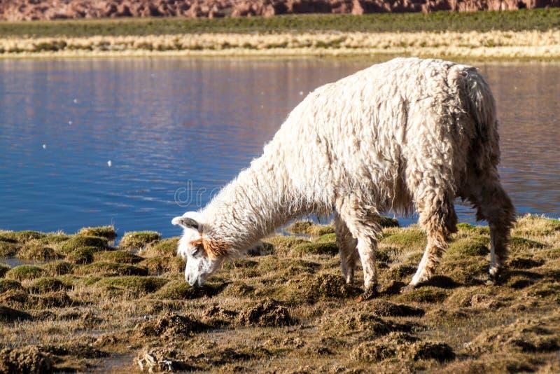 Alpaca del lama que pasta por un lago en el boliviano Altipla foto de archivo