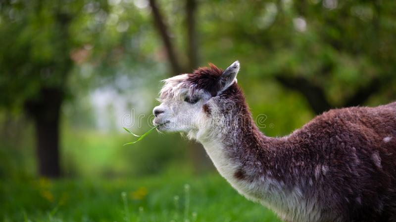 Alpaca die gras eet stock fotografie