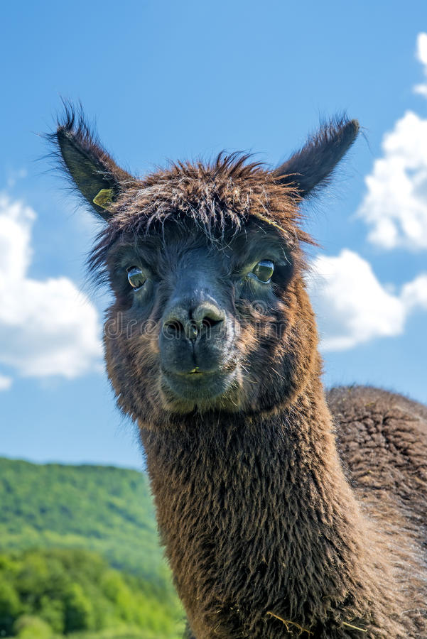 Alpaca die nieuwsgierig kijken royalty-vrije stock foto's