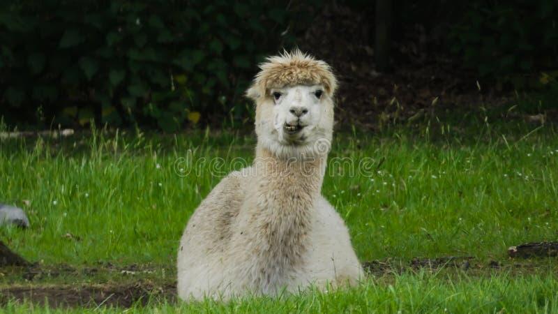 Alpaca die van lange dagen en van luie dagen 3 genieten royalty-vrije stock foto