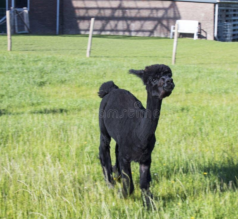 Alpaca die zich op een gebied bevinden royalty-vrije stock fotografie