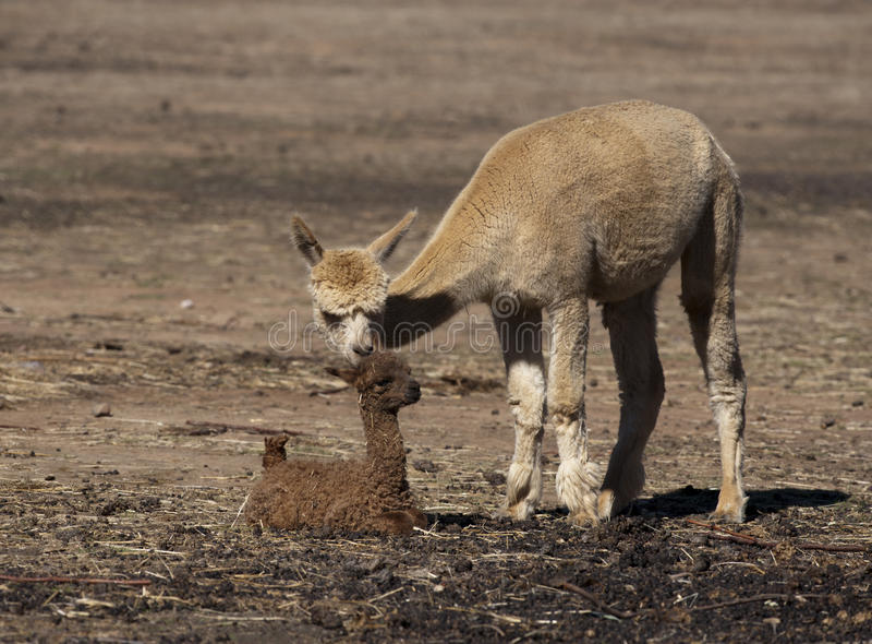 Alpaca do bebê foto de stock royalty free