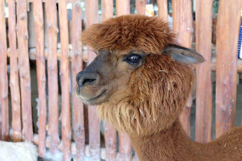 Alpaca do cabelo de Brown fotografia de stock