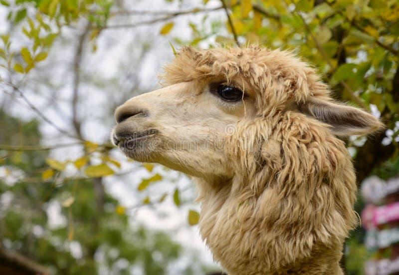 A alpaca doce dos olhos fotos de stock