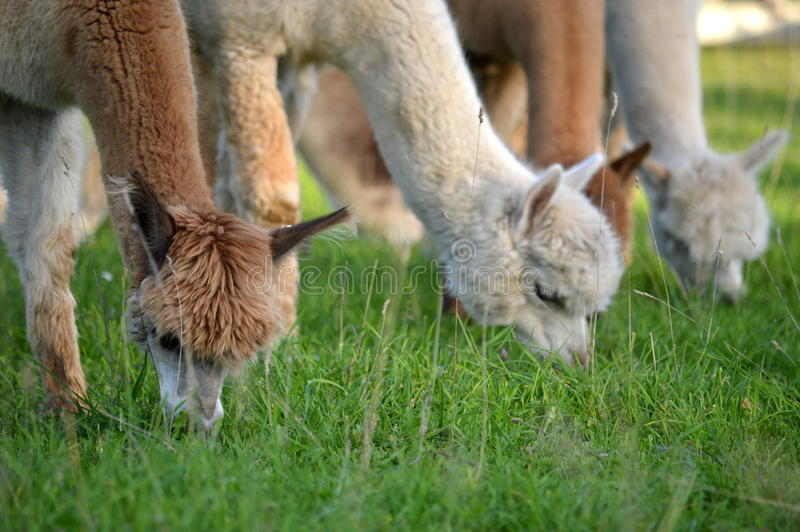 Alpaca eating stock photo