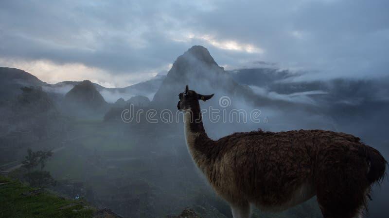 Alpaca em ruínas do Inca de Machu Picchu no Peru imagem de stock