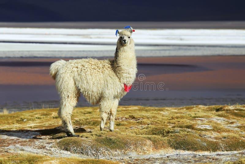 Alpaca em Salar de Uyuni, deserto de Bolívia fotos de stock