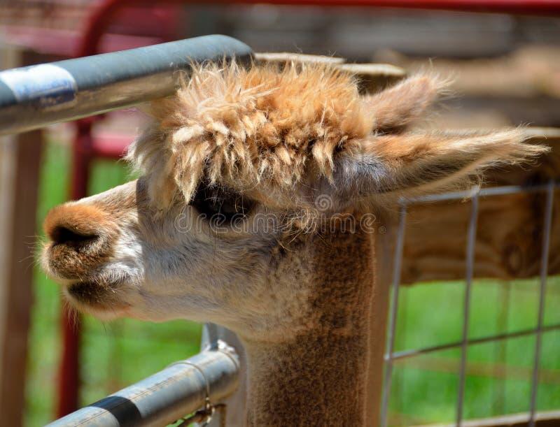 Alpaca em um jardim zoológico de trocas de carícias fotos de stock royalty free