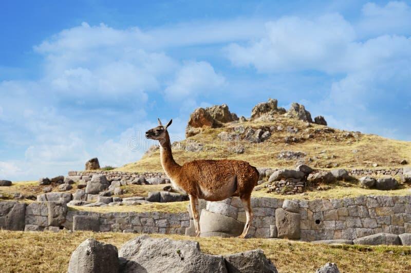 Alpaca en Perú imágenes de archivo libres de regalías