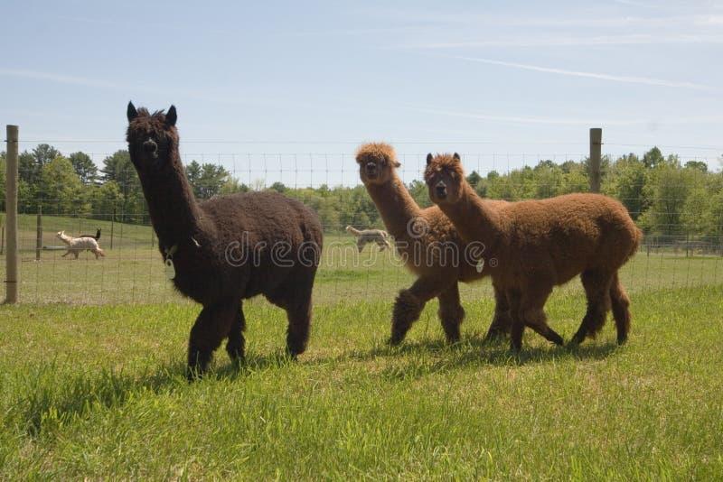 Alpaca Farm. Alpacas on a farm stock photography