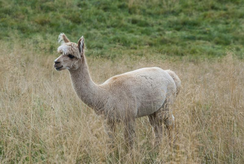 Alpaca in a farm during a cloudy day stock photography