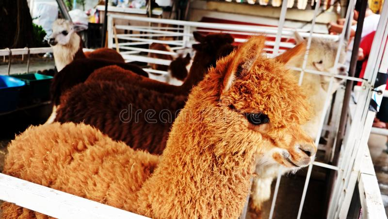 Alpaca in Farm. Cutey alpaca, part of the camelidae family and is closely related to the well-known llama royalty free stock images