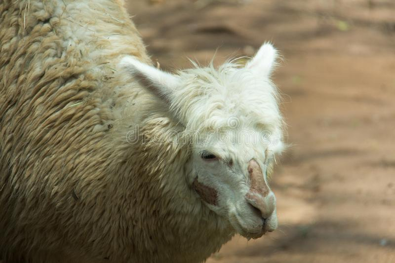 Alpaca. In a farm for tourism in Thailand stock image