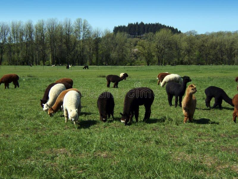 Alpaca field royalty free stock photo