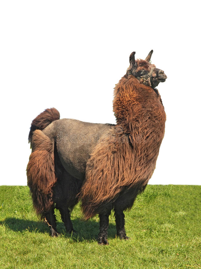 Alpaca On The Grass Royalty Free Stock Photo