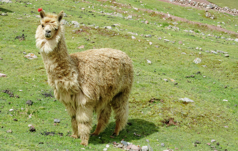 Alpaca on green mountain meadow. Alpaca and Lama animals at the altiplano mountains green grass. Furry white and brown lama and alpaca stock images