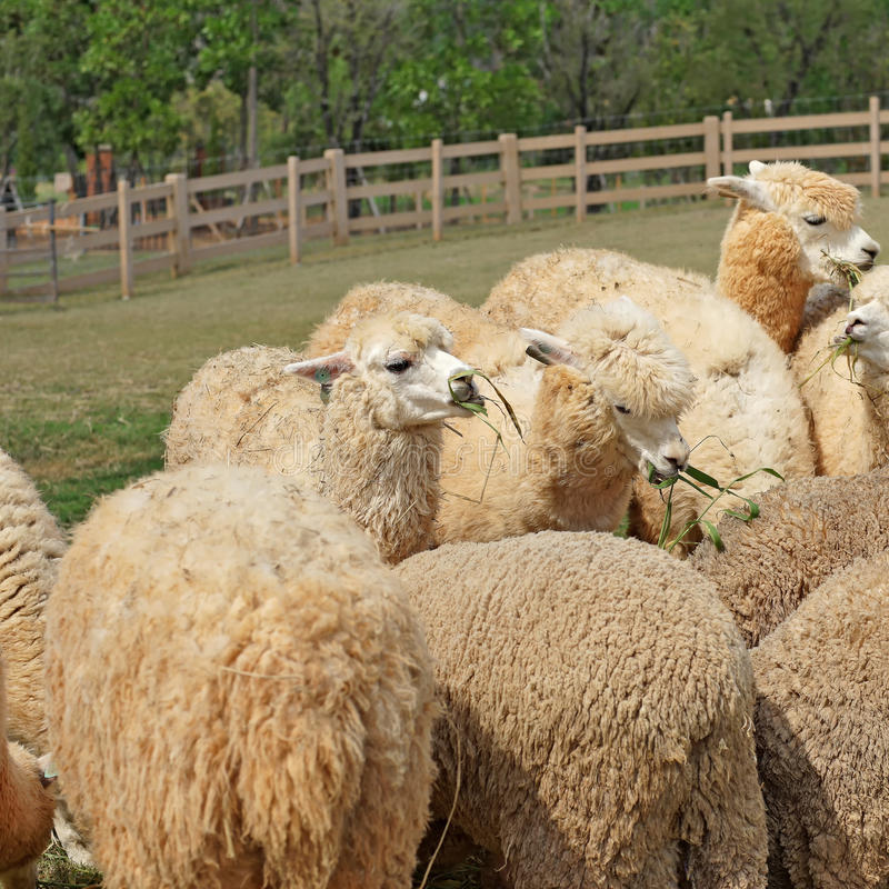 Alpaca in het landbouwbedrijf stock afbeelding