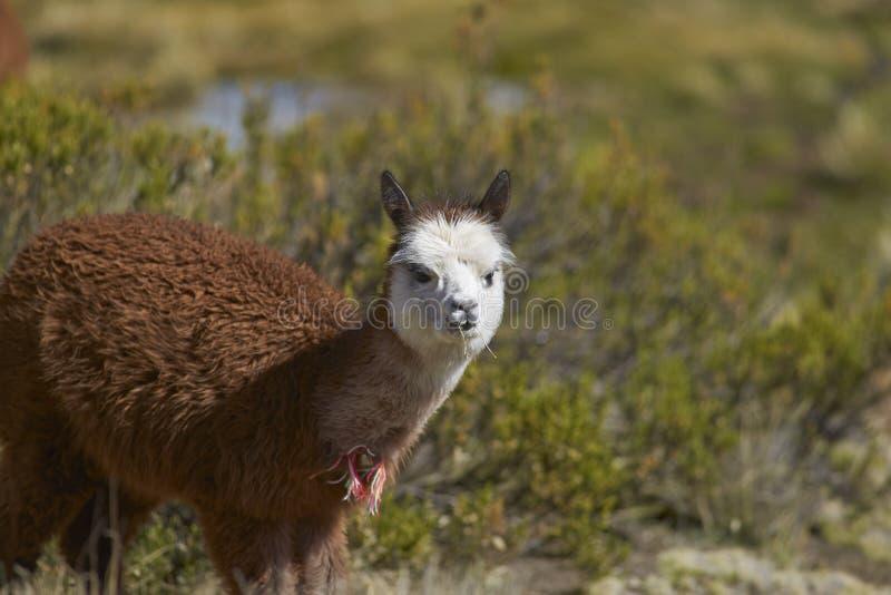Alpaca in het Nationale Park van Lauca, Chili stock foto's