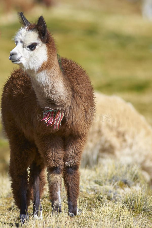Alpaca in het Nationale Park van Lauca, Chili royalty-vrije stock foto